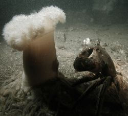 Velvet Swimmer Crab and plumose Anemone. Firth of Forth, ... by Grant Kennedy 